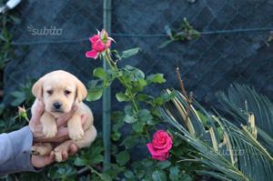 Labrador retriever pedigree