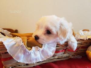 Maltese cuccioli di 2 mesi