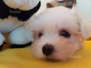 Maltese cuccioli di 2 mesi pronti