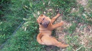 Affido cucciolo shar pei 4 mesi