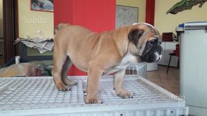 Bulldog inglese maschio e femmina