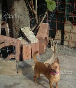Chihuahua femmina molto bella