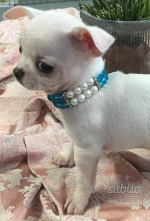 Chihuahua mini con Pedigree e con colorazioni rare