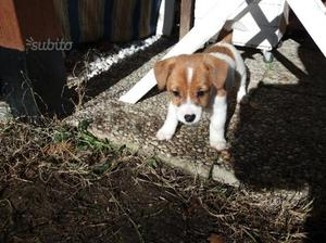Cucciola di Jack Russell terrier
