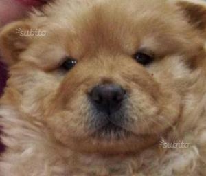 Cucciola femmina di chow chow