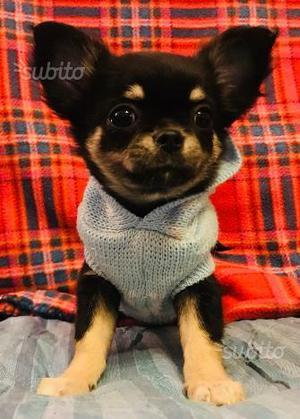 Cuccioli Chihuahua PEDIGREE ENCI