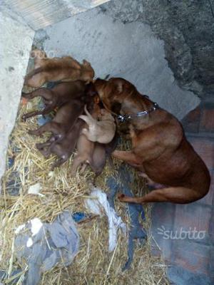 Cuccioli di Pitbull Red Nose