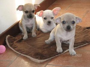 Cuccioli di chihuahua con pedigree
