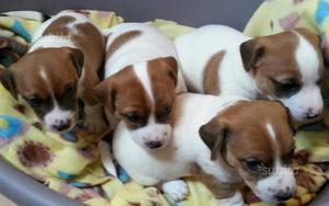 Cuccioli di jack russell terrier con pedigree roi