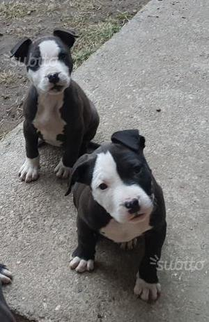 Cuccioli di pitbull ukc con PEDIGREE