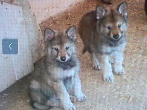 Cuccioli maschi di lupo cecoslovacco