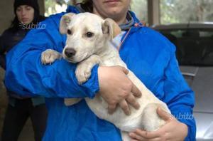 Cuccioli mix labrador 3 mesi in adozione