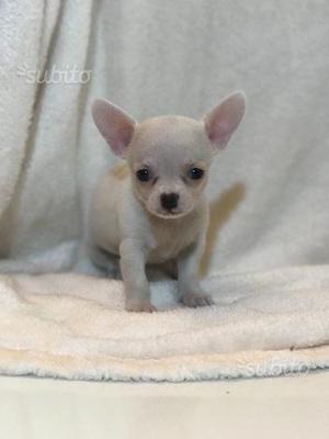 Femminuccia di Chihuahua