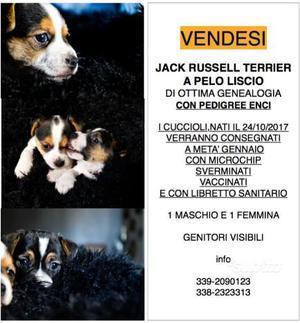 Jack Russel Terrier - Cuccioli con pedigree Enci