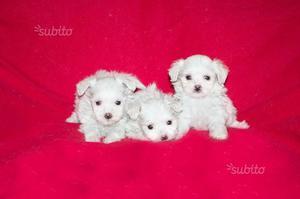 Maltese con pedigree, cuccioli di taglia piccola