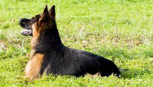 Maschio pastore tedesco stallone