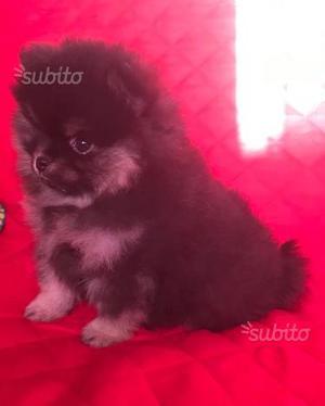 Cucciola volpino incrocio con spiz nano posot class for Spitz tedesco nano