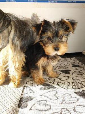 Splendidi cuccioli maschi di Yorkshire Terrier