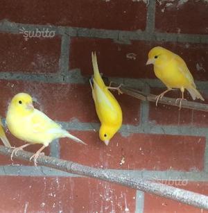 Ultime tre canarini  femmine e maschi gialli i