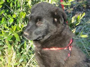 cucciolo mix labrador in adozione