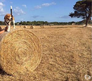 Affettuoso Beagle di 4 anni cerca cagnolina