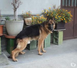 Stupenda cucciolona pastore tedesco 5 mesi