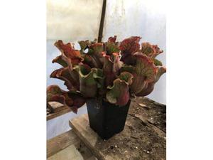 Orecchini pianta carnivora supermario posot class for Pianta carnivora dionea
