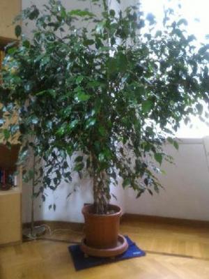 Ficus Benjamin With Pianta Beniamino.