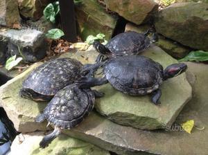 Tartarughe 2 grandi posot class for Acquario tartarughe grandi