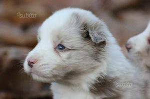 Border collie con pedigree