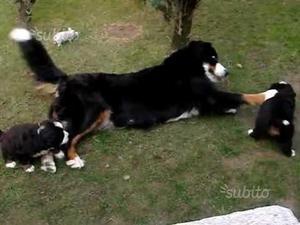 Bovaro border collie cuccioli maschi