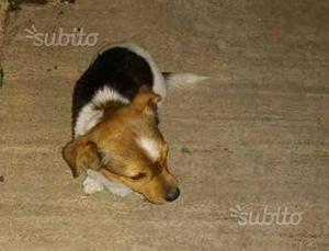 Cane femmina tipo jack russell 7 mesi