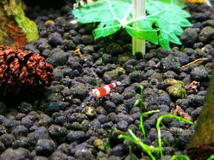Caridine Crystal Red caridina acquario