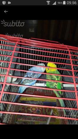 Cocoriti colorati