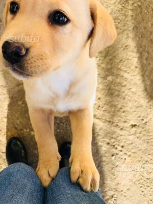 Cucciola di Labrador Retrievers