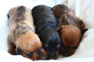Cuccioli bassotto tedesco standard a pelo raso