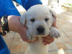 Cuccioli di Labrador