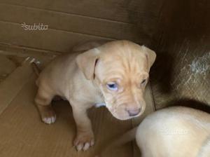 Cuccioli di PITBULL RED NOSE -originali- ULTIMO