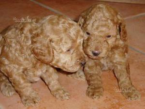 Cuccioli di barboncino toy albicocca puri
