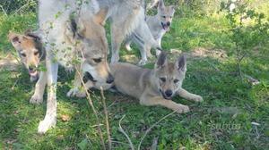 Cuccioli di lupo cecoslovacco Pedigree Enci