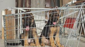 """""""Cuccioli""""Pastore""""tedesco"""" ORIGINALI"""