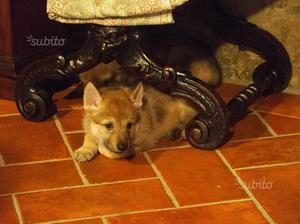 Cucciolo femmina cane lupo cecoslovacco