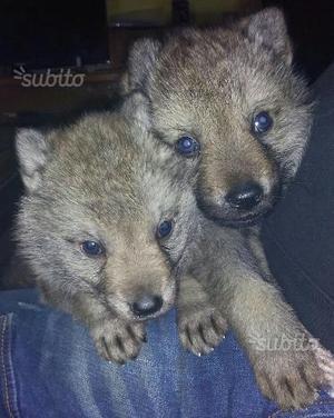 Disponibili ultimi cuccioli di lupo cecoslovacco