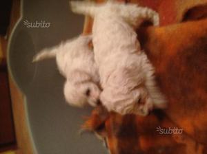 Due cuccioli di barboncino toy