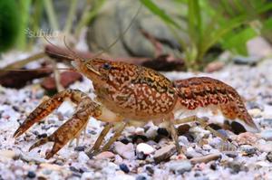 Gambero Procambarus