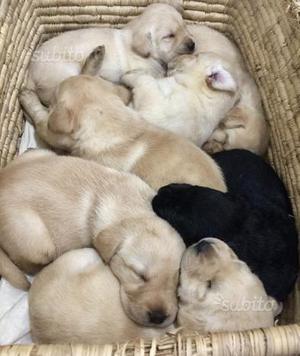 Labrador retriever cuccioli con pedigree
