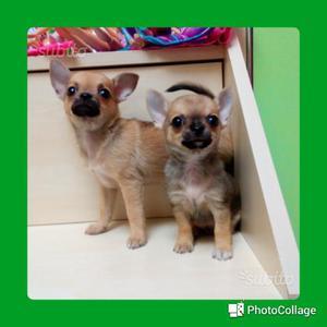 Maschio e femmina.Chihuahua