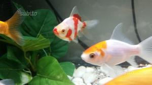 Pesce oranda posot class for Pesci rossi prezzo