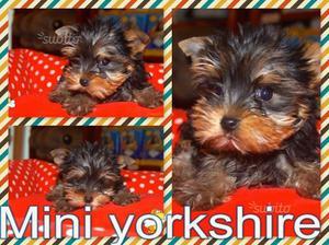 Yorkshire toy cuccioli