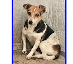 SHANGHAI mix beagle 3 anni, 30 cm di tenerezza chiusa in gab